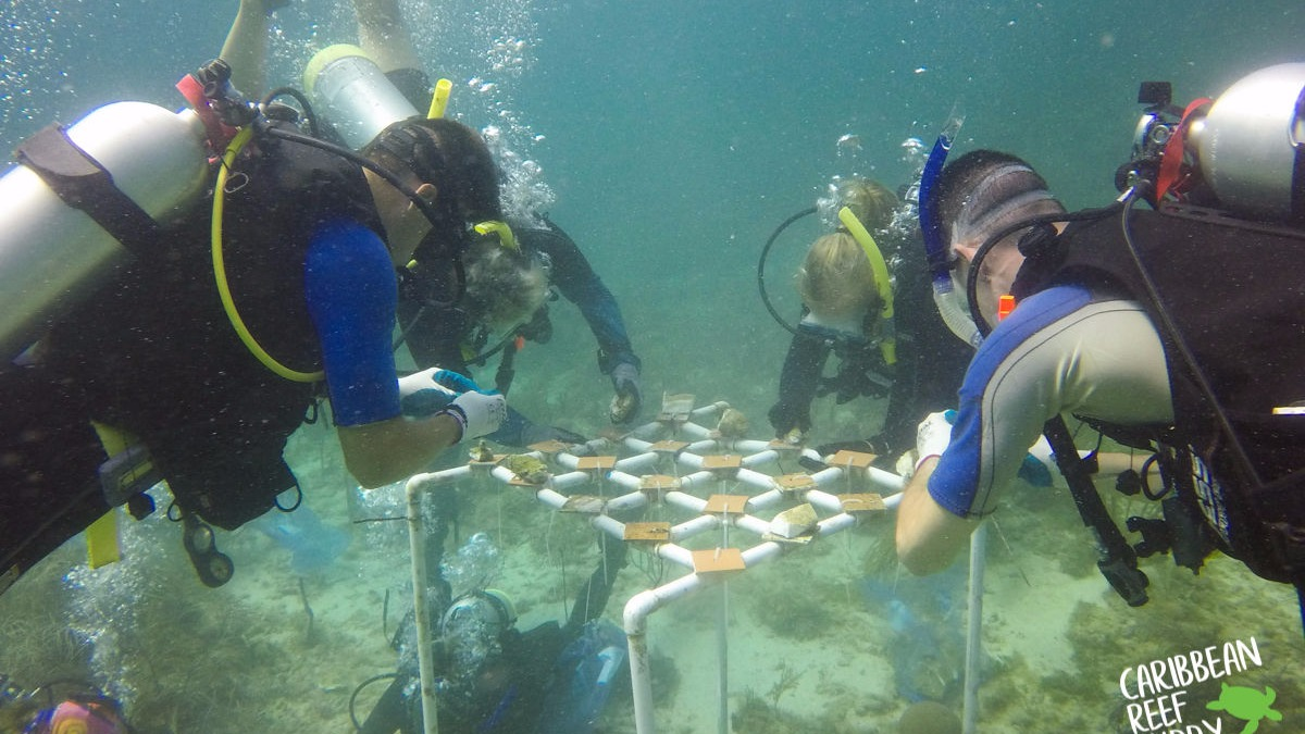 Coral Nursery Project, Caribbean Reef Buddy