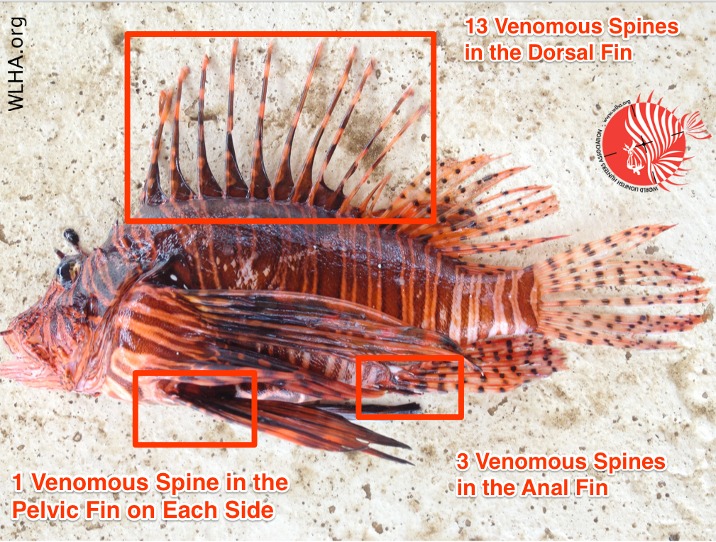 Location of lionfish spines